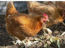 """Цыплята, Хайсекс Браун"""""""